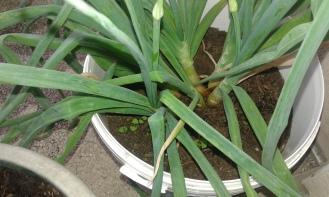 Oignons avec un tout petit peu de basilic. Onions with a little bit basilic